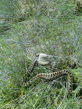 Adder eats Grouse