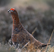 Red grouse (copyright: Laurie Campbell)